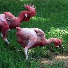 Inventano il pollo senza piume