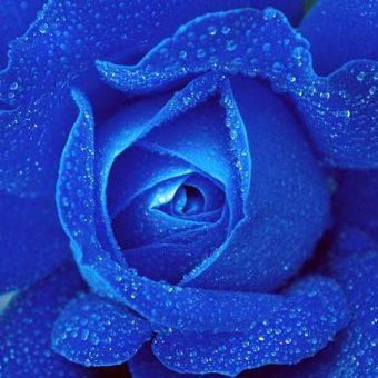 Il significato della rosa blu